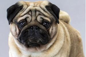 размер собаки мопс