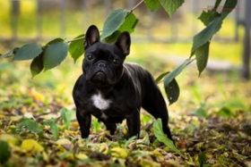 Плюсы и минусы собак породы французский бульдог