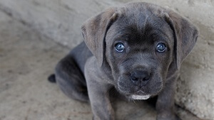 Кане корсо (итальяно) фото собаки, описание породы, характеристика, отзывы, видео