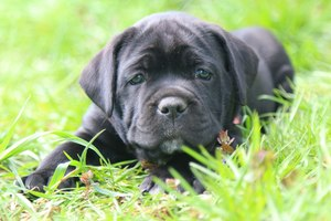 корсо собака фото щенки