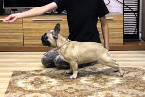 Как воспитывать французского бульдога: можно ли его дрессировать и как правильно тренировать   как приучить щенка к туалету