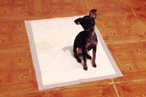 Как приучить той-терьера к лотку или пеленке: как быстро научить щенка ходить в туалет и отучить справлять нужду где попало