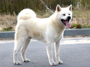 собака акита ину белая