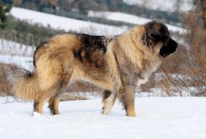 Заполнение родословных на кавказкую овчарку среднеазиаты