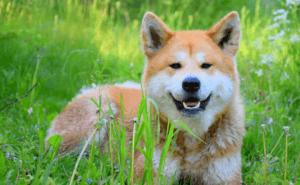 Как выбрать щенка акита Акита-ину