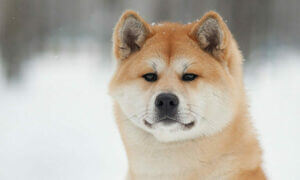 акита ину вес взрослой собаки