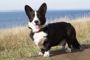 корги порода собак черно белая