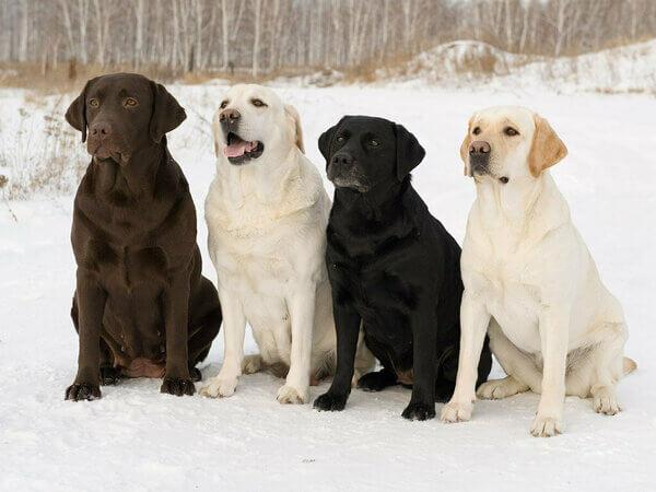 лабрадор фото взрослой собаки размер