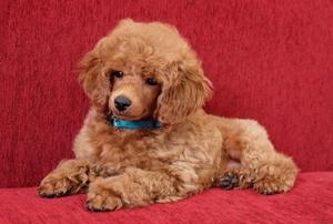 Пудель – фото собаки, описание характера пуделя и характеристика породы