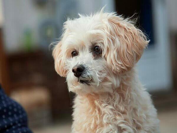 Порода собаки смесь пуделя и болонки