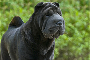 китайский шарпей фото взрослой собаки