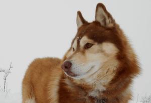 Окрасы Хаски - фото с описанием: агути, белый, черный, палевый ... | 206x300