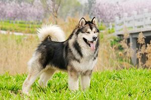 маламут фото собак взрослых и щенков