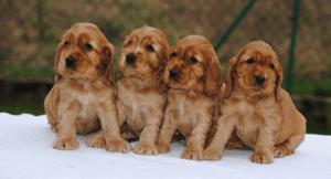 как выглядят щенки спаниеля