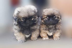 фото щенков пекинеса 2 месяца